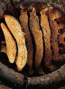 ბორჯომში უძველესი თაფლი აღმოაჩინეს